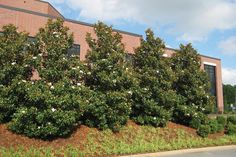 Top 5 Trees for a Privacy Border: 'Little Gem' Southern Magnolia   September 2014 eNewsletter