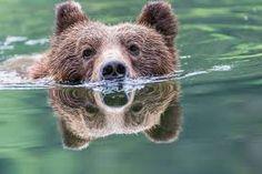 Výsledek obrázku pro grizzly