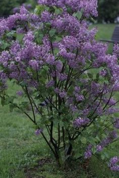 Lilacs are happy when they're cut back