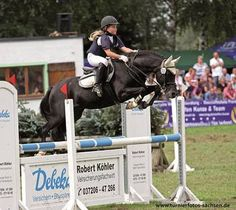 Welsh Pony (section B) stallion Black Horse