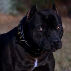 Uplifting So You Want A American Pit Bull Terrier Ideas. Fabulous So You Want A American Pit Bull Terrier Ideas. Pitbull Terrier, Amstaff Terrier, Bull Terriers, Big Dogs, Cute Dogs, Dogs And Puppies, Puppy Dog Eyes, Dog Cat, Perros Pit Bull