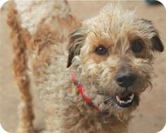 The 80 Best Wheaten Terrier Mix Images On Pinterest Doggies Dogs And Wheaten Terrier Mix