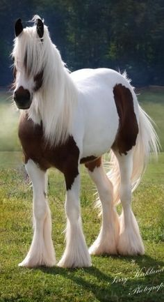 Gypsy Vanner - Most cuddly looking horse I've seen. Very pretty!