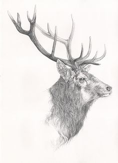 """""""Monarch"""" - Red Stag. I meet this chap as I was walking in the woods. The original drawing is now in a private collection in China, but you can see a print at the CLA Game Fair"""