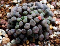 Frithia PULCHRA ROTE BLUETE (Фрития) - Интернет-магазин - Адениум дома: от семян до растений. Выращивание и уход.