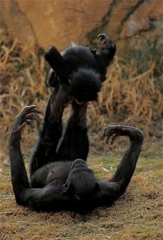 Bonobo's share so much of our human behavour