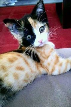 Amazing markings on this calico tabby kitten.