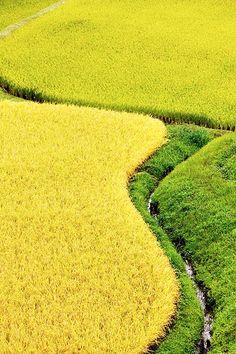 Rice Fields of Japan