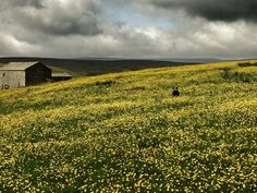 Fields of gold. Swaledale is famous for its hay meadows. pic.twitter.com/ZIRaSFBuSj