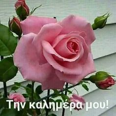 Good Morning, Plants, Beautiful, Morning Quotes, Mornings, Good Afternoon, Nighty Night, Buen Dia, Roses