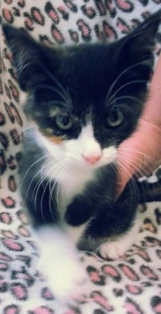 Meet Summer 20451 a Petfinder adoptable Domestic Short Hair Cat | Prattville, AL | Summer is a 9 week old, female calico kitten.Dogs and puppies may be adopted for a fee of $120. All...