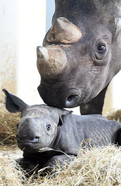 On May 25th, a black rhino was born to 14-year-old parents Circe and Eddie. The baby girl is the 13th successful birth at Zoo Miami for this highly endangered species.