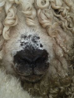 lookit the curls on this greyfaced dartmoor!