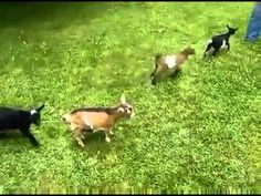 cute baby goats playing around
