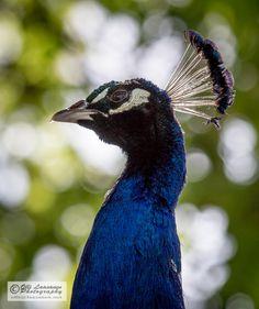 Indian Peafowl (Peacock) - Riikinkukko