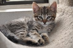 all american tabby | ... tabby there are several amusing legends about how tabby cats got their