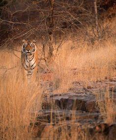 Tiger, Ranthambore National Park, Rajasthan, India  √