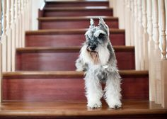 Salt and pepper Miniature Schnauzer standing on stairs