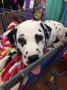 Dalmatian 10 weeks old. Going shopping.