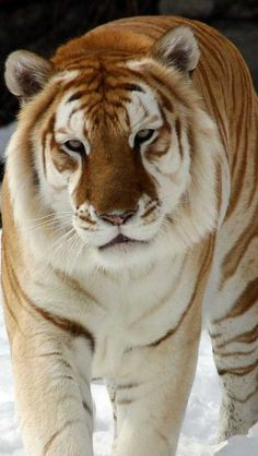 Golden tabby tiger :)