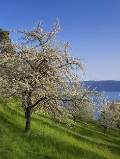 Blick auf den See: Der Blütenweg bei Sipplingen am Bodensee macht jeden Spaziergang zum Erlebnis. (Foto: Fotolia.de)