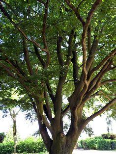 #Fagus #sylvatica #Asplenifolia
