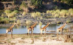 Giraffe Polonaise, Kruger Park, South Africa - Ruth Kolthof Fotografie