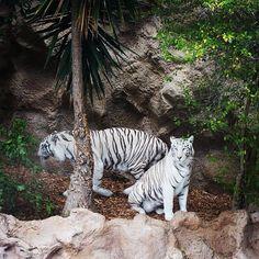 Tigres - Loro Parque, #Tenerife