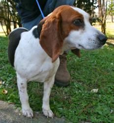 Bailey (spayed) is an adoptable Beagle Dog in Chipley, FL. Bailey is a 5 to 6 year old female beagle, about 25 pounds. She is such a precious little cutie, very good-natured and charming. She would be...
