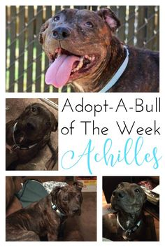 Adopt-A-Bull of The Week – Achilles in Pennsylvania | http://www.thelazypitbull.com/adopt-a-bull-achilles-pennsylvania/