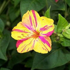 Mirabilis jalapa - Four o'Clock Flower.  Bloom detail. The plant is noted for the wide variation in its flower colouration.