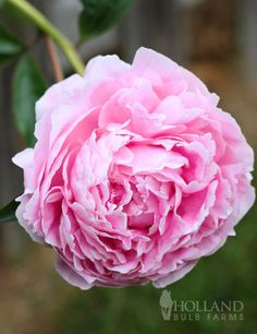 Sarah Bernhardt Peony has large soft pink double blooms mid Spring. It will be b… Sarah Bernhardt Peony has large soft pink double blooms mid Spring. It will be blooming with your Allium and Bearded Iris. This shrubby perennial is… Continue Reading →