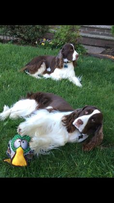4618 Best English Springer & Friends images in 2019 | Dogs