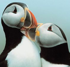 On the Trail of the Elusive Puffin - Seven Picture Books on the World's Most Beautiful Auk