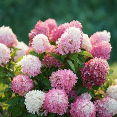 Proven Winners - Zinfin Doll® - Panicle hydrangea - Hydrangea paniculata pink white flowers open white then turn pink from base to tip. Full Sun Hydrangea, Dwarf Hydrangea, Hydrangea Potted, Hydrangea Varieties, Smooth Hydrangea, Hydrangea Bloom, Climbing Hydrangea, Hydrangea Garden, Pink Hydrangea