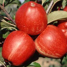 Gyümölcsfa fajták - Alma - 'Gala'