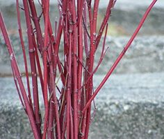 Red Dogwood Branches Real Dried in Bunches of 20  for Weddings Centerpieces Crafts  Home Decor  20 to 36 * For more information, visit image link.(It is Amazon affiliate link) #5likes