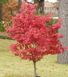 Suminagashi Japanese Maple Tree in the Fall & Winter.
