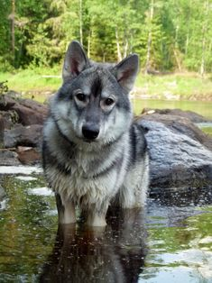 If you love wolves,you must check the link in our bio 🔥 Excusive wolf Related Products on Sale for a limited time only ! Tag a wolf lover 😍 . 📸:Please DM . No copyright infringement intended . All credit to the creators. Wolf Photos, Wolf Pictures, Nature Animals, Animals And Pets, Cute Animals, Wolf Spirit, Spirit Animal, Beautiful Creatures, Animals Beautiful