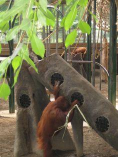 Sumatran orangutan searching for treats. #torontozoo #enrichment…
