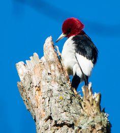 Red-headed Woodpecker: 5 April 2017, Luria Park; Falls Church, VA, 8:15 a.m., sunny, 55 degrees, calm
