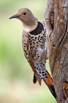 The Northern Flicker (Colaptes auratus) is a medium-sized member of the woodpecker family. It is native to most of North America, parts of C...