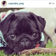 hamiltonpug:  Well, this is the definition of adorable. More like this over at @ cupcake_pug