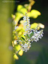 Aloysia gratissima - alfazema nativa do Brasil - planta medicinal com folhas e flores comestíveis  e mutio aromáticas