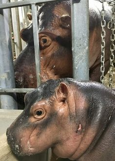 Hippo Blog #8: Family Reunions | Cincinnati Zoo Blog