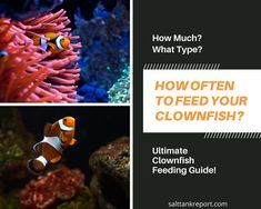 feeding your clownfish properly is crucial for maintaining good health. Find out how often you should feen them and much more! #saltwaterfish #saltwaterfishforbeginners #fishtanks #clownfish Saltwater Tank, Saltwater Aquarium, Fishing For Beginners, Salt Water Fish, Reef Aquarium, Fish Tank, Clownfish, 55 Gallon, Health