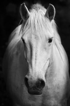 White Horse'S Black And White Art Portrait Photographic Print by kasto at AllPosters.com
