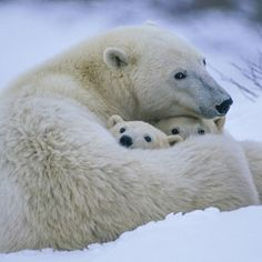 Polar Bears In The Arctic. | 26 Stunning Photos Of Animals Around The World