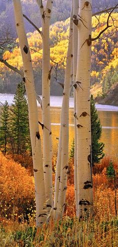 Aspens and Cataract Lake near Silverthrone, Colorado