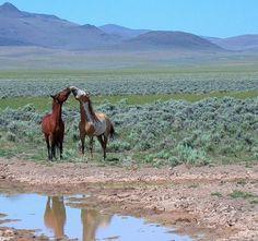 Wild horses, Oregon,